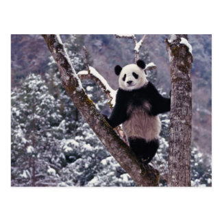 Giant Panda standing on tree, Wolong, Sichuan, Postcard