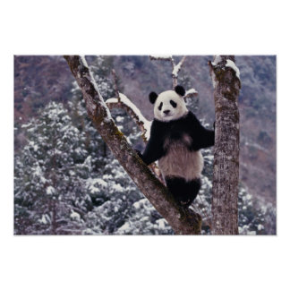 Giant Panda standing on tree, Wolong, Sichuan, Poster