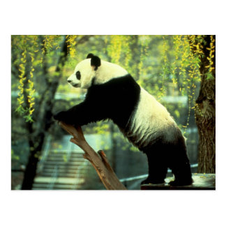 Giant Panda Yoga Stretch Postcard