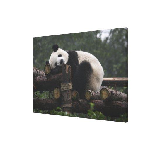 Giant pandas at the Giant Panda Protection & 2 Canvas Print