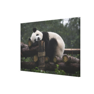 Giant pandas at the Giant Panda Protection & 2 Canvas Print