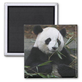 Giant pandas at the Giant Panda Protection & 2 Inch Square Magnet