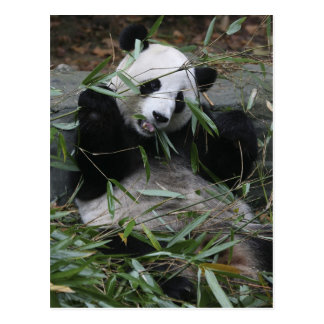 Giant pandas at the Giant Panda Protection & 2 Postcard
