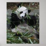 Giant pandas at the Giant Panda Protection & 2 Poster