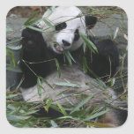Giant pandas at the Giant Panda Protection & 2 Square Sticker