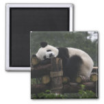 Giant pandas at the Giant Panda Protection & 3 2 Inch Square Magnet