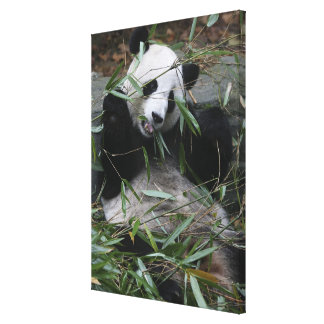 Giant pandas at the Giant Panda Protection & 3 Canvas Print