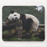 Giant pandas at the Giant Panda Protection & 3 Mouse Pad