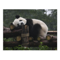 Giant pandas at the Giant Panda Protection & 3 Postcard