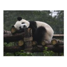 Giant pandas at the Giant Panda Protection & 3 Post Card