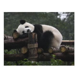 Giant pandas at the Giant Panda Protection & 3 Postcard