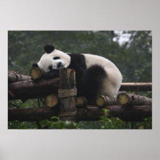 Giant pandas at the Giant Panda Protection & 3 Print