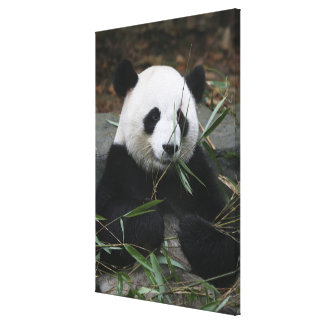 Giant pandas at the Giant Panda Protection & Canvas Print