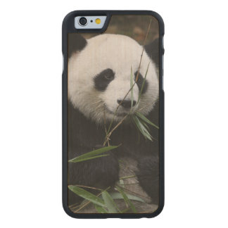 Giant pandas at the Giant Panda Protection Carved Maple iPhone 6 Slim Case