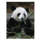 Giant pandas at the Giant Panda Protection & Postcard
