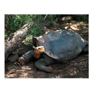 Giant Saddle-Backed Tortoise Lying Down Postcard