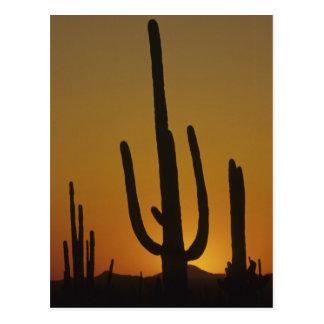 Giant saguaro cactus Cereus giganteus), Postcard