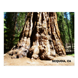 Giant Sequoia Postcard! Postcard