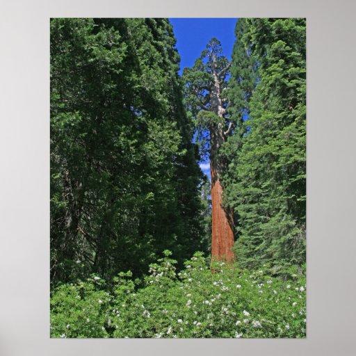 Giant Sequoia Poster