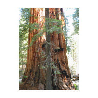 Giant Sequoia Tree Photograph Canvas Print