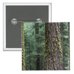 Giant Sequoia trees in the forest, Sequoia and 2 Inch Square Button