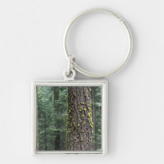 Giant Sequoia trees in the forest, Sequoia and Keychain