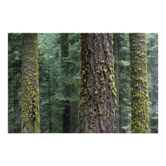 Giant Sequoia trees in the forest, Sequoia and Poster