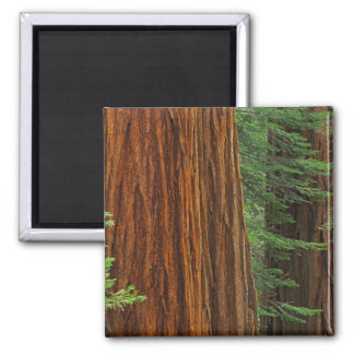Giant Sequoia trunks in forest Yosemite Magnet