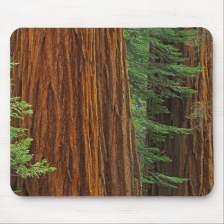Giant Sequoia trunks in forest, Yosemite Mouse Pad