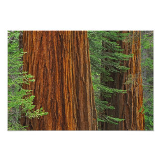 Giant Sequoia trunks in forest, Yosemite Photograph