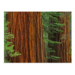 Giant Sequoia trunks in forest, Yosemite Post Cards