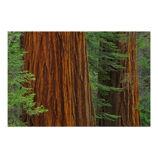 Giant Sequoia trunks in forest, Yosemite Posters