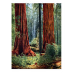 Giant Sequoia Trunks Postcard