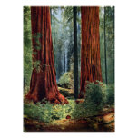 Giant Sequoia Trunks Poster