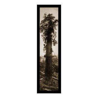 Giant Sequoia Wonder Photo 1915 Poster