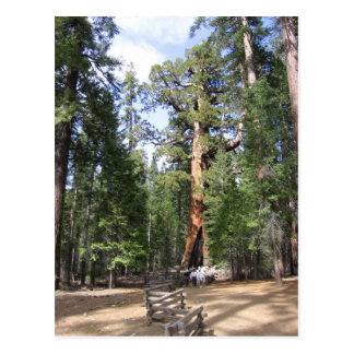 Giant Sequoia, Yosemite National Park Post Cards