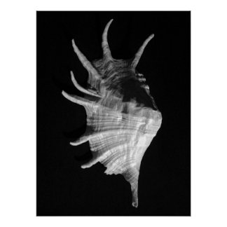 Giant Spider Conch Seashell Lambis truncata Posters