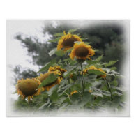 Giant Sunflowers Photo Watercolor Painting Poster