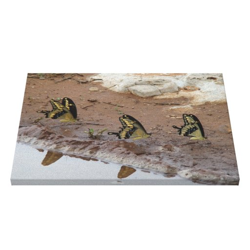 Giant Swallowtail butterflies puddling Canvas Print