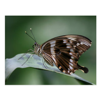 Giant Swallowtail Butterfly Postcard