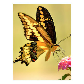 Giant Swallowtail Butterfly Postcard