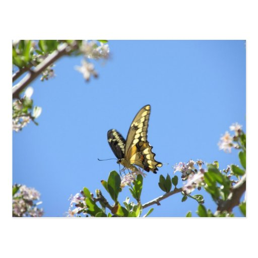 Giant Swallowtail Butterfly Post Cards