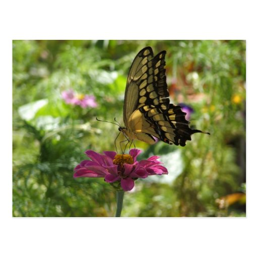 Giant Swallowtail Butterfly Post Card