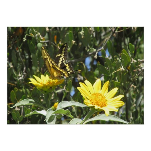 Giant Swallowtail Butterfly Print