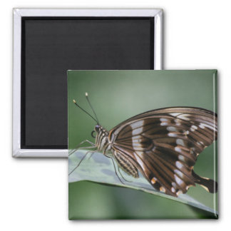 Giant Swallowtail Butterfly Square Magnet