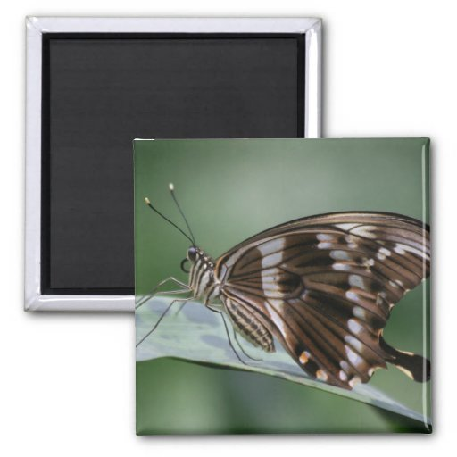 Giant Swallowtail Butterfly Square Magnet Refrigerator Magnet