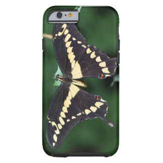 Giant Swallowtail Butterfly Tough iPhone 6 Case