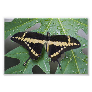 Giant Swallowtail Butterly on Papaya Leaf Posters