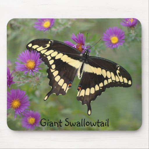 Giant Swallowtail on asters Mouse Pad
