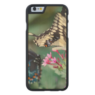 Giant Swallowtail Papilio Cresphontes Carved Maple iPhone 6 Slim Case